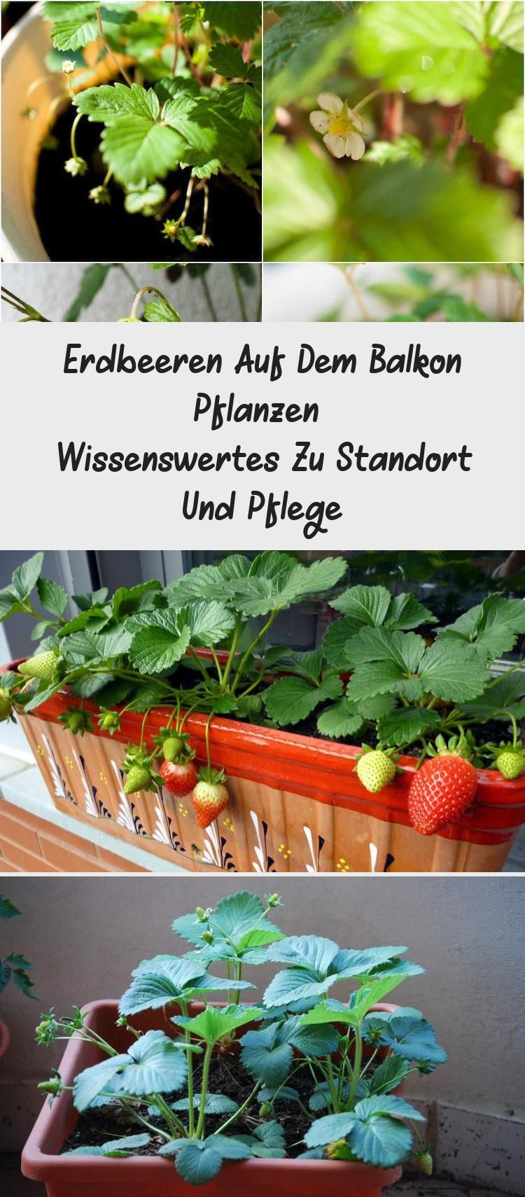 Erdbeeren Auf Dem Balkon Pflanzen Wissenswertes Zu Standort Und Pflege Pflanzen Balkon Pflanzen Erdbeerpflanzen