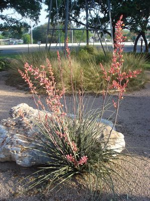 Hesperaloe parviflora (Yucca, Red)