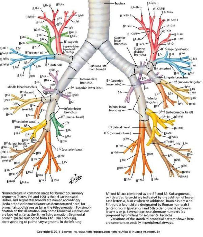 Segmental Bronchus Anatomy Segments Of The Lung Images Lung Seg