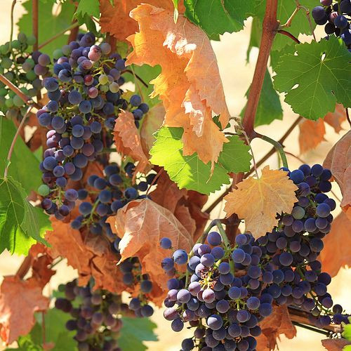 Sangiovese grapes for Tuscane Chianti wine