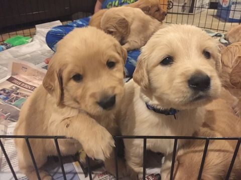 Litter Of 9 Golden Retriever Puppies For Sale In Pendleton Sc