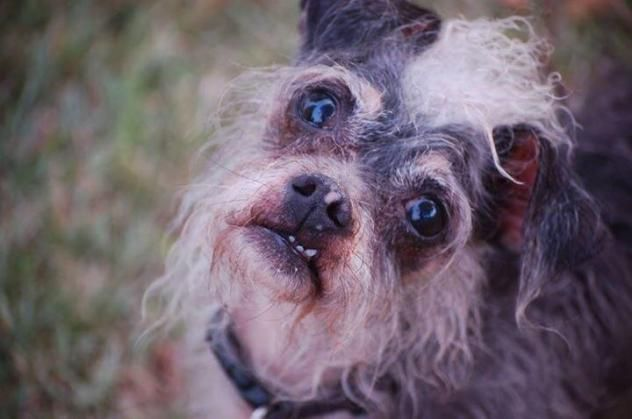 Adopt Sam On Dogs Chinese Crested Dog Chinese Crested Hairless