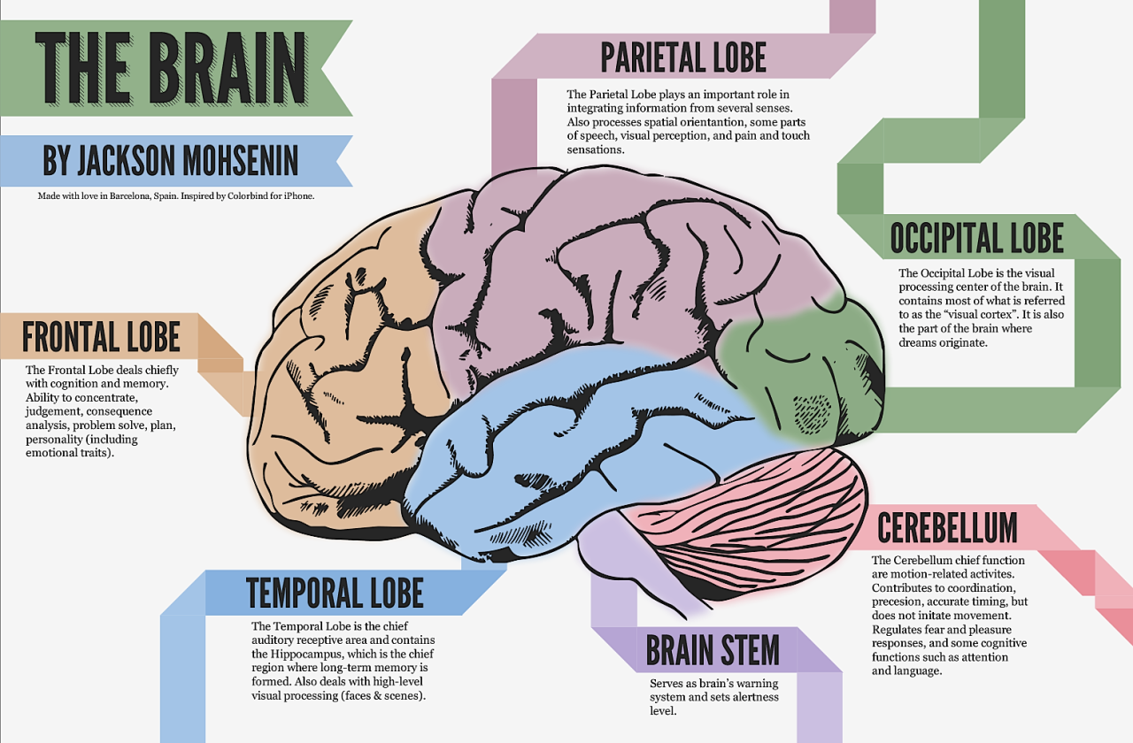 a breakdown of the brain. | anatomy. | pinterest | the o'jays, Human Body