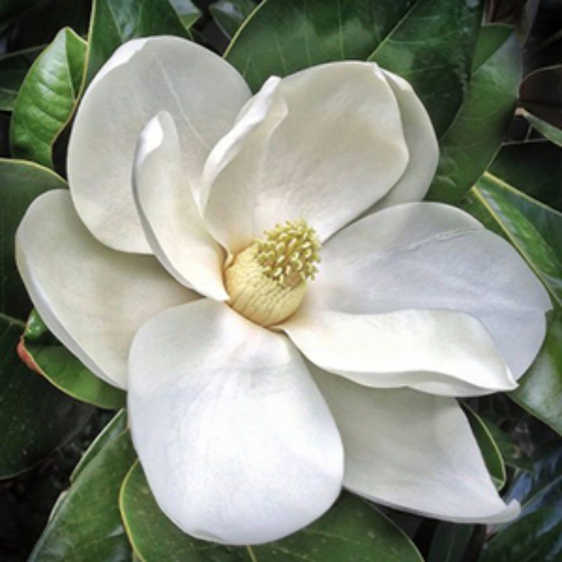 Picking The Right Magnolia Grow Beautifully Night Blooming Flowers Magnolia Flower Spring Blooming Trees