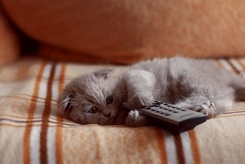 cat, remote, t.v.