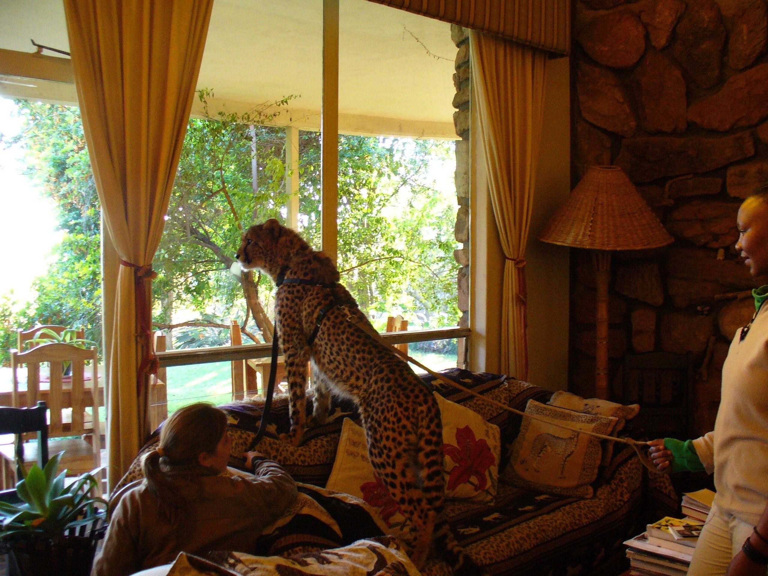 Yeats the ambassador cheetah doing some training at the Cheetah Lodge