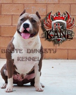 Blue Nose American Bully Pitbull Puppies For Sale Pitbull Kennel