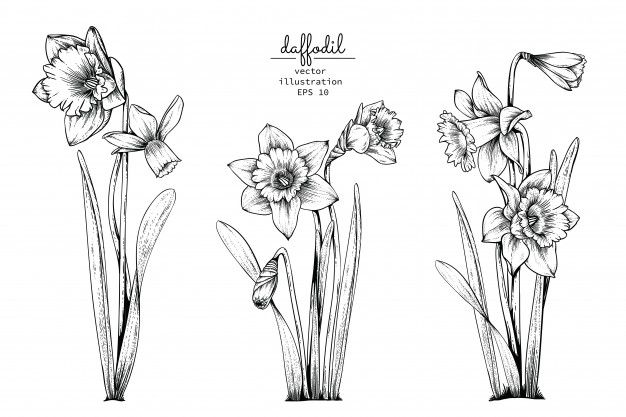 December Birth Flower Tattoo Black And White: Daffodil Narcissus Flower Drawings.