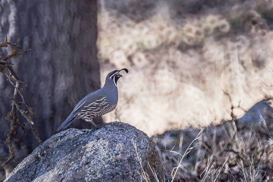 quail side profile by elias nesser photo 132684713 500px