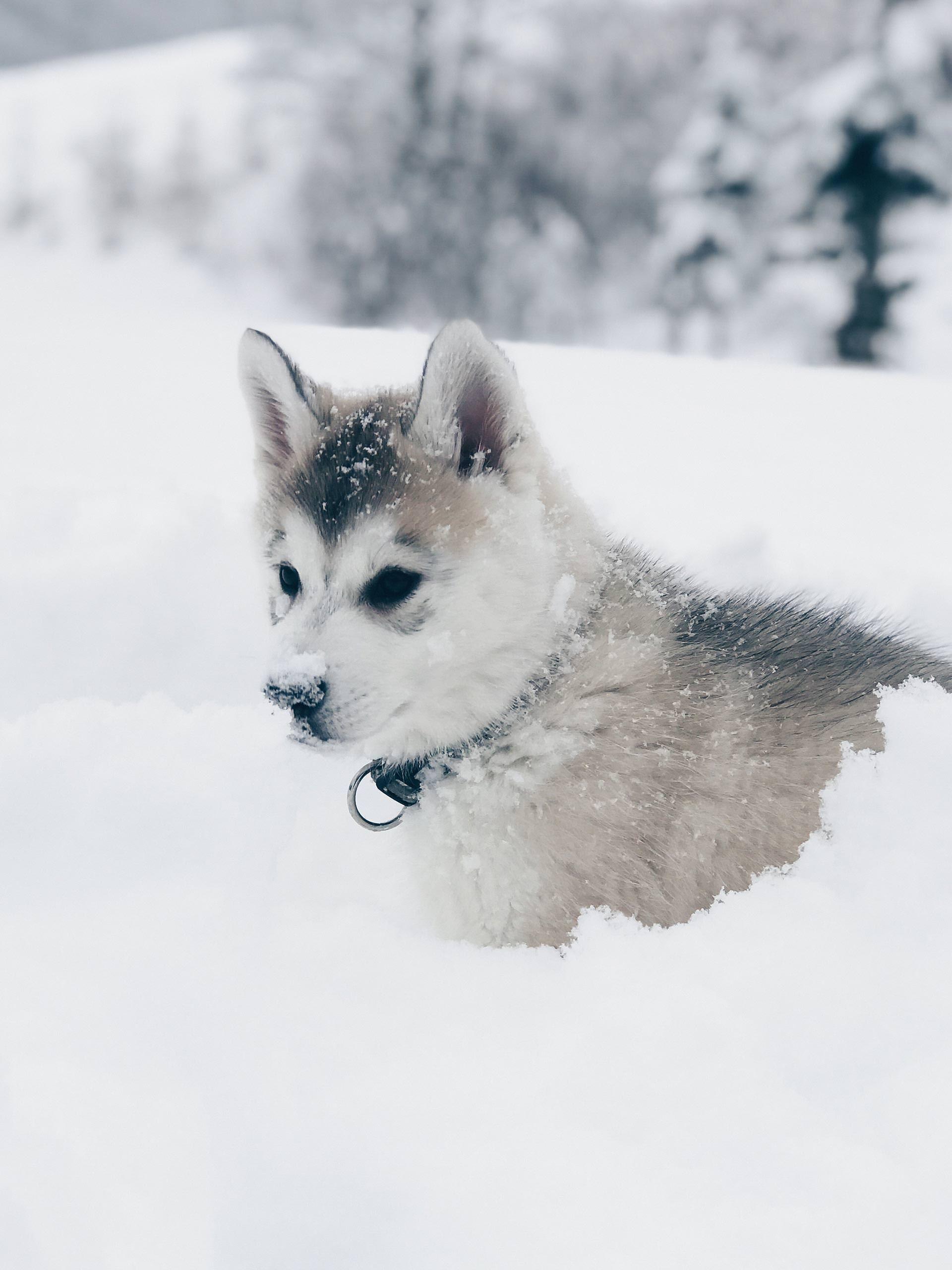 Hunde Facts Zur Sibirischen Husky Dame Sky Alltag Mit Hund Leben