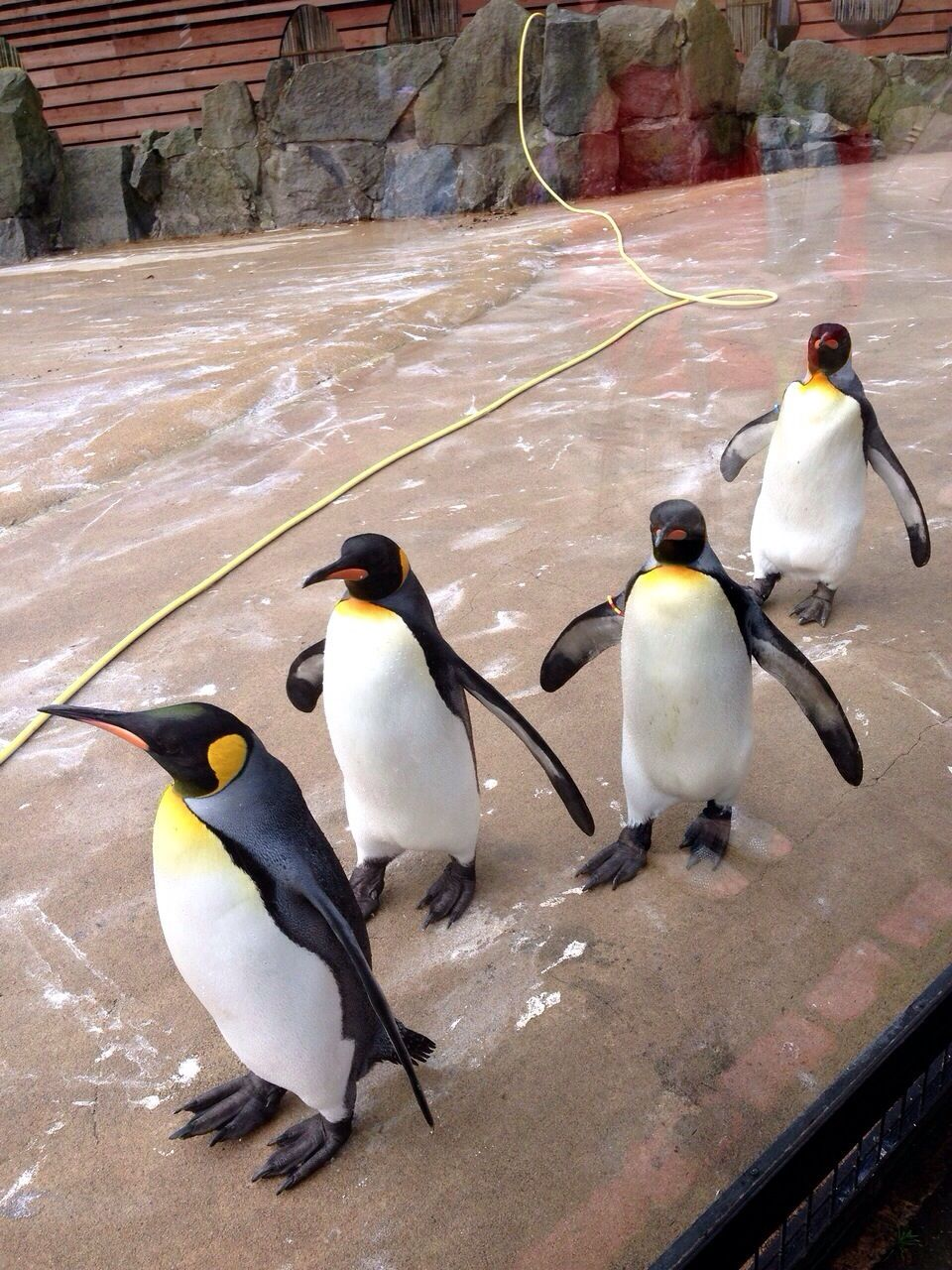 A Day Out To Edinburgh Zoo Not My Year Off Edinburgh Zoo Penguins Cute Penguins