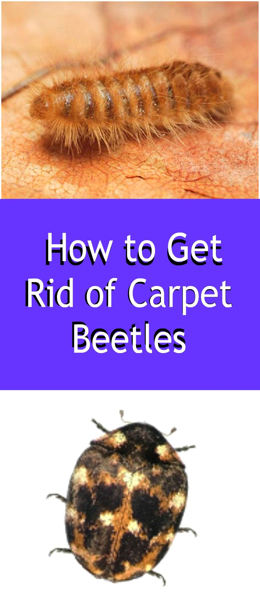 Carpet Beetles Are Small Pests That Can Damage Clothing Furniture