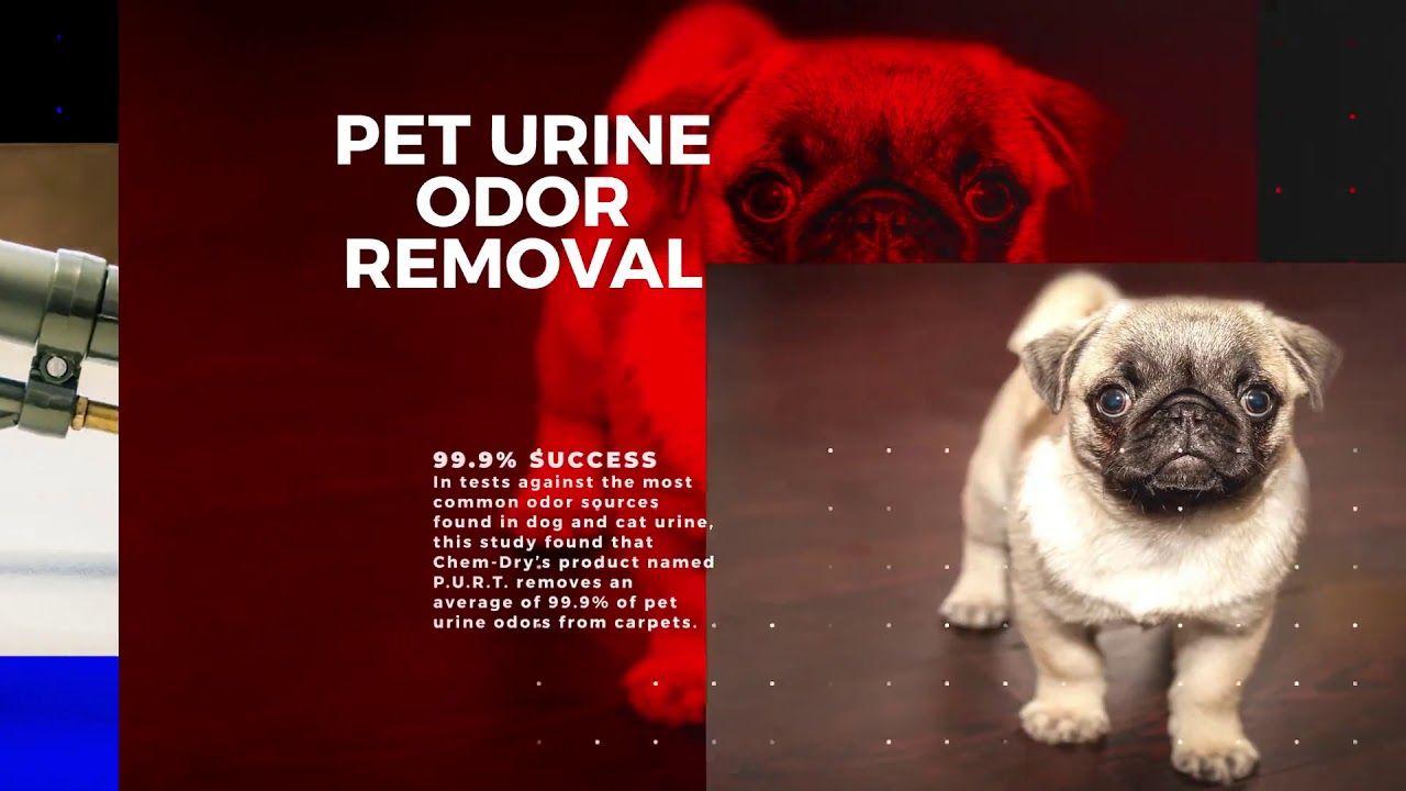 How Do You Get Old Dog Urine Sns Out Of Carpet Carpet