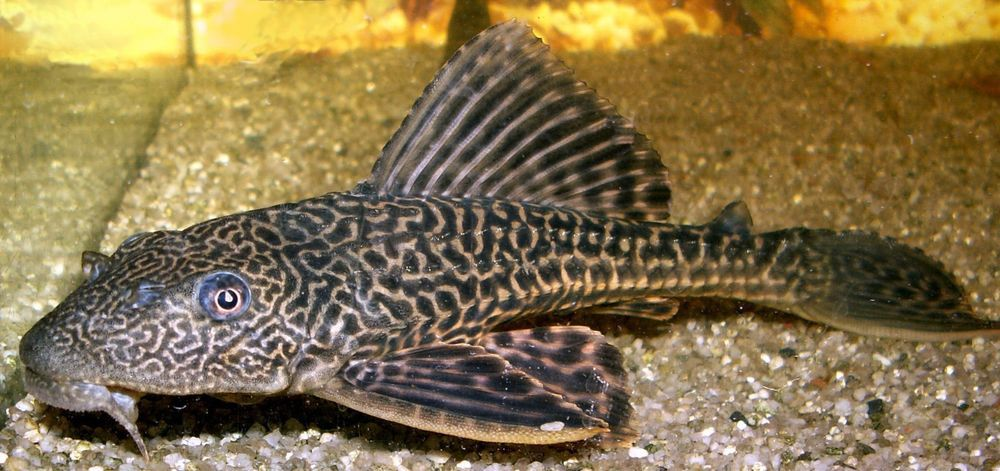 2 lot hypostomus plecostomus pleco sucker fish 2 inch for Aquarium sucker fish