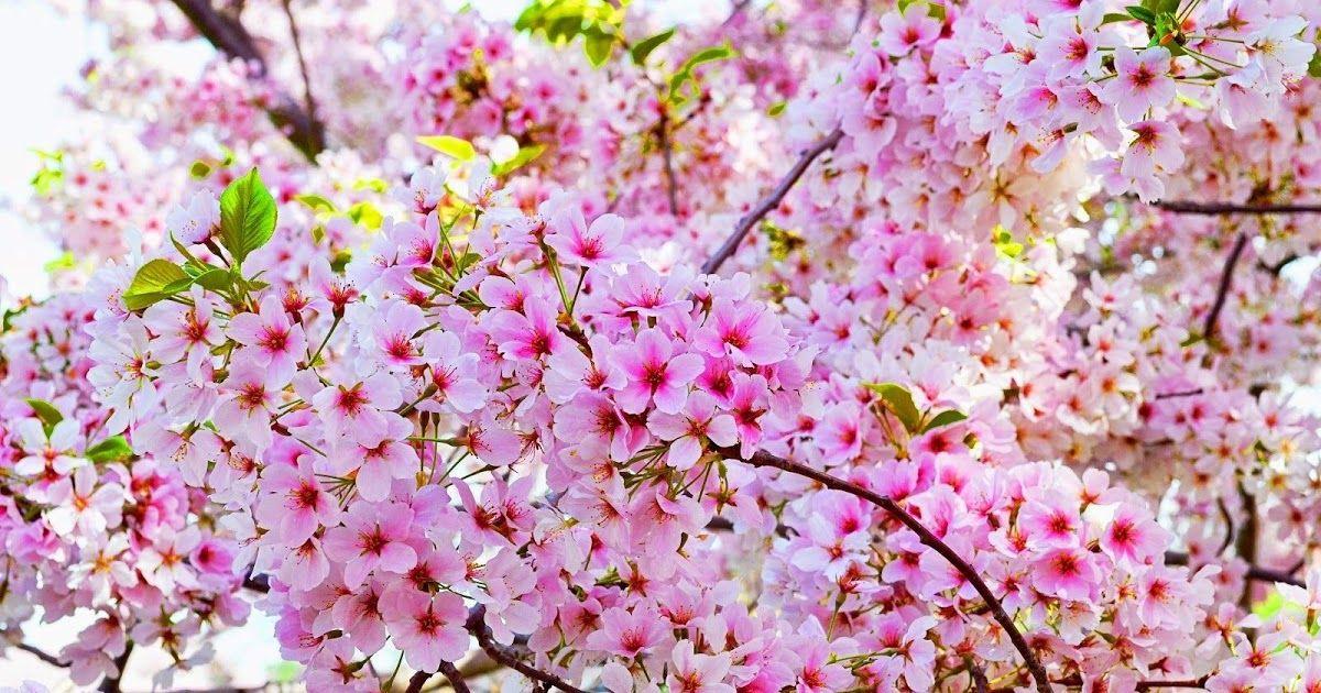 29 Background Pemandangan Taman Bunga Sakura Wallpaper Bunga Sakura Hd Wallppapers Gallery Cvety Download Wallpaper Bunga Sakura Taman Bunga Gambar Bunga