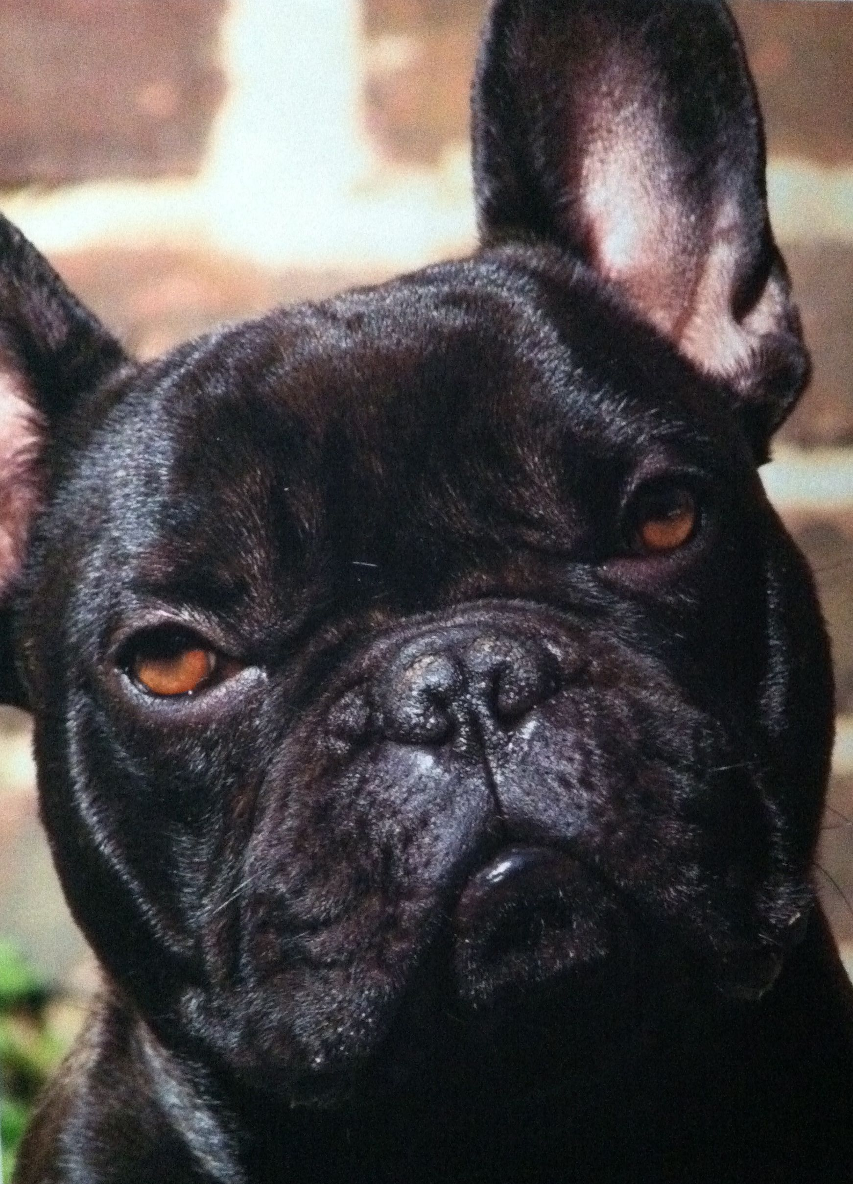 My Most 3 D Creature Of All Animals Creatures French Bulldog