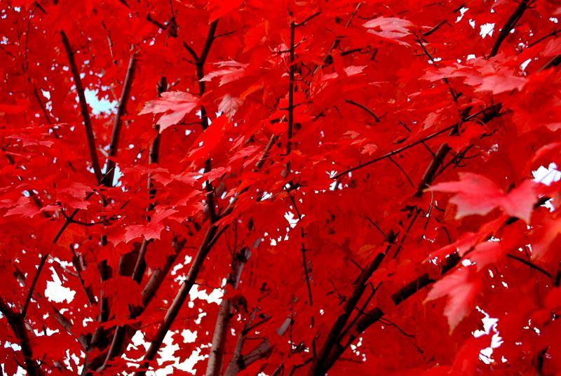 www.nicelab.it #rosso #albero #foglie