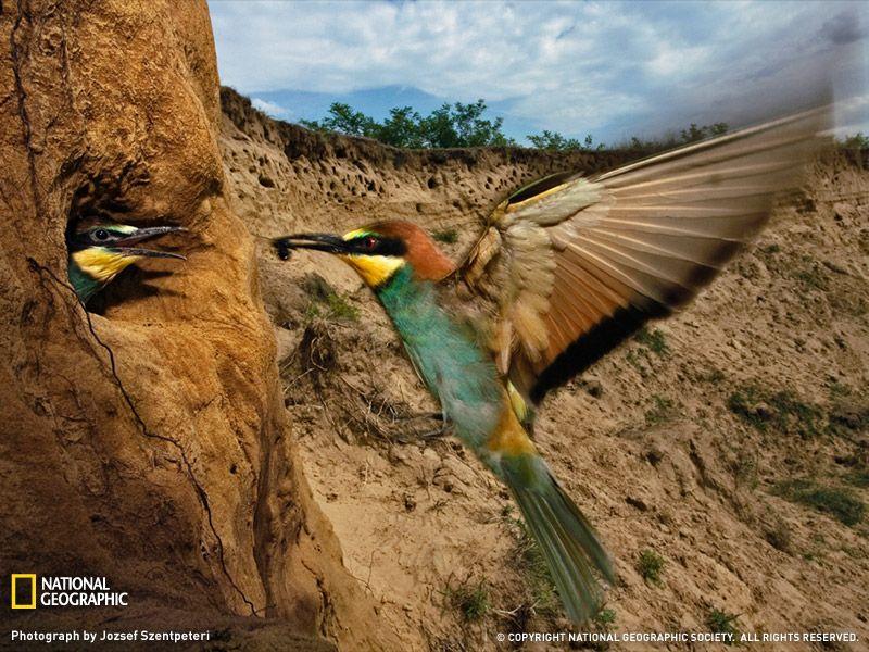 Bee-Eater Feeding Chicks, Hungary