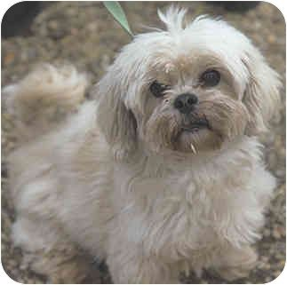 Christmas Cookie Adopted Dog Princeton Nj Maltese Shih Tzu Mix Cute Dogs And Puppies Dogs Pets