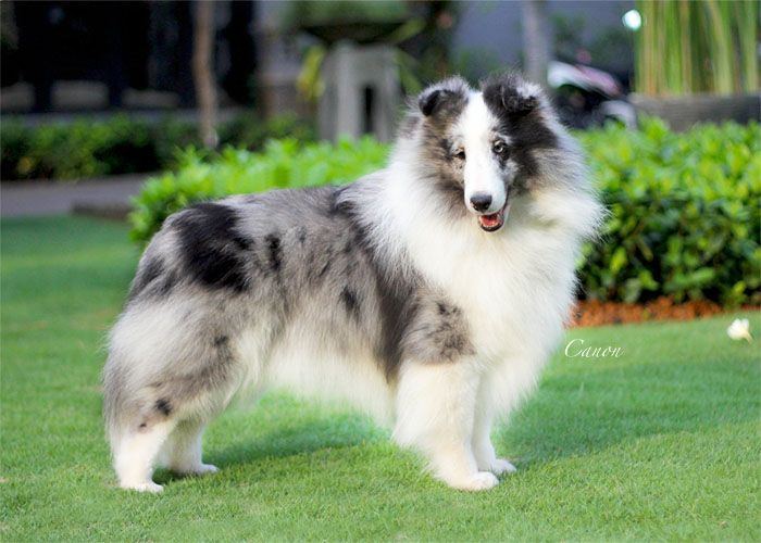 Grand Alexander Shetland Sheepdog Girls Shetland Sheepdog Sheepdog Shetland Sheepdog Puppies