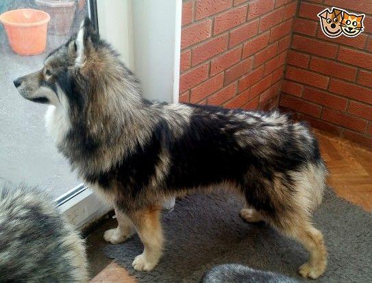 Kc Reg Long Coat Agouti Siberian Husky For Stud Husky Pet Id