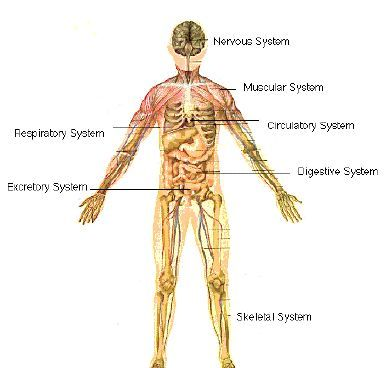 your body systems | human body systems | pinterest | body systems, Muscles