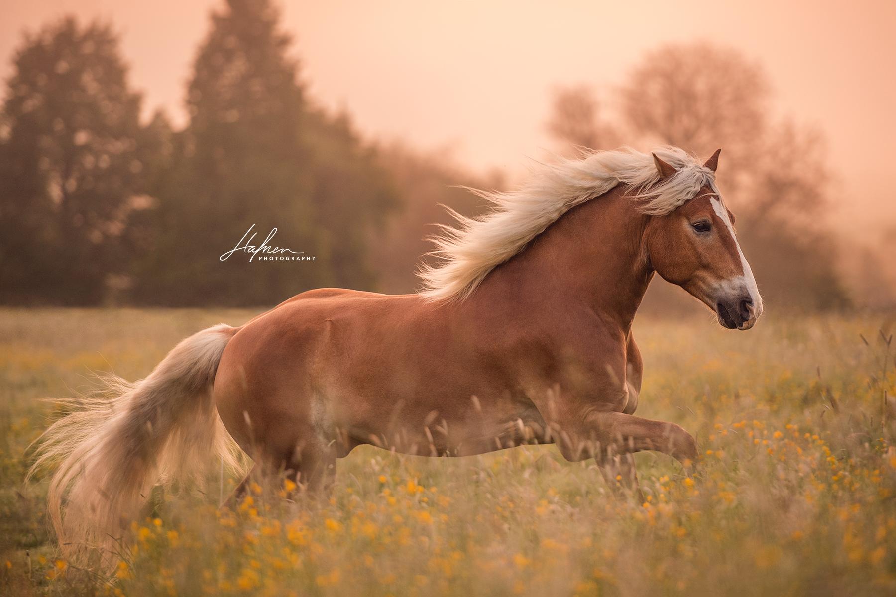Haflinger Wallach Im Sonnenaufgang Pferd Bilder Foto Fotografie Fotoshooting Pferdefotografie Pferd Pferde Fotografie Pferde Bilder Pferdefotos