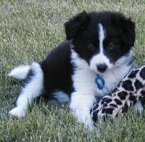 White Road Border Collies Puppies For Sale Shelton Washington Border Collie Puppies Collie Puppies Collie Puppies For Sale