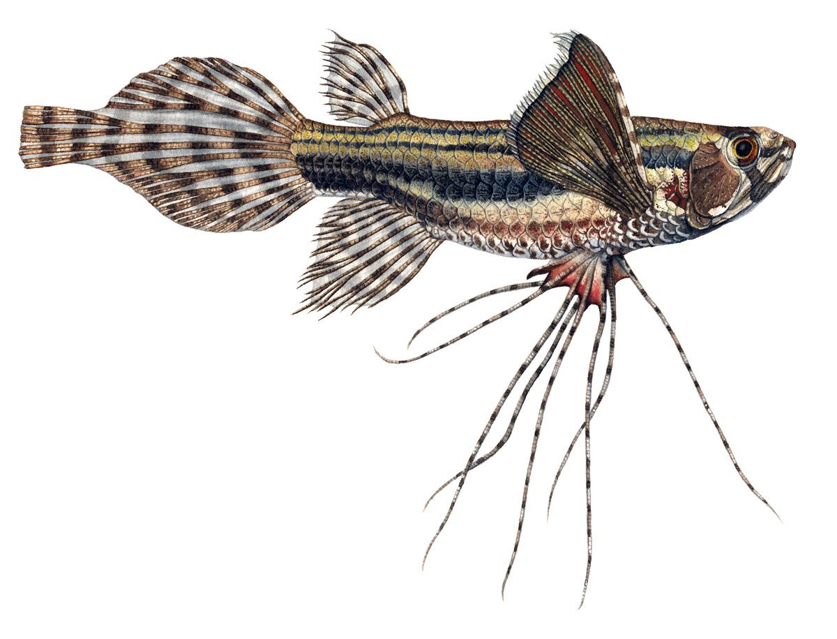 African Butterfly Fish Wild Inhabit Facts Congo And Niger Basin Found In Fossils Dating Far Back Cannibalistic A Butterfly Fish Fish Tank Freshwater Aquarium