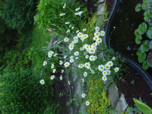 Small white flowers my garden pinterest small white flowers small white flowers mightylinksfo