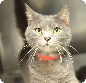 Philadelphia, PA - Domestic Shorthair. Meet SMOKEY, a cat for adoption. http://www.adoptapet.com/pet/14436793-philadelphia-pennsylvania-cat
