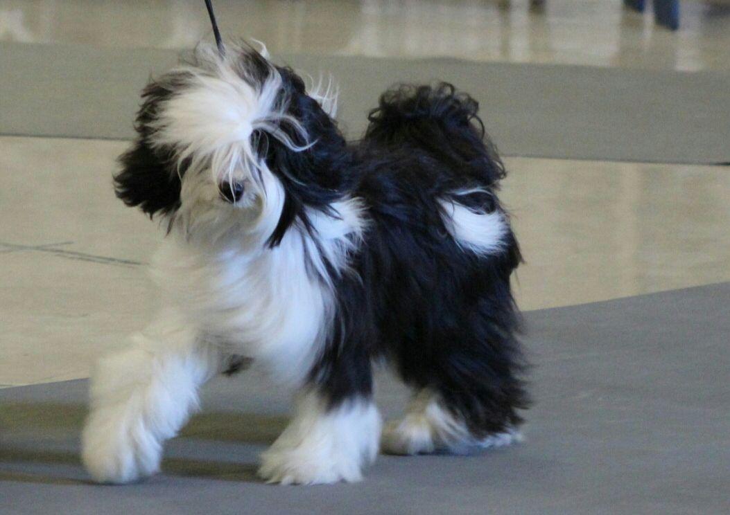 Tibetan Terrier Tibetan Terrier Dogs And Puppies Terrier