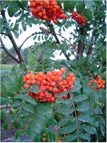 Sorbus americana an ornamental sensation in the spring the being a delightful little tree the american mountain ash offers showy spring flowers clusters of berries the best in fall color mightylinksfo