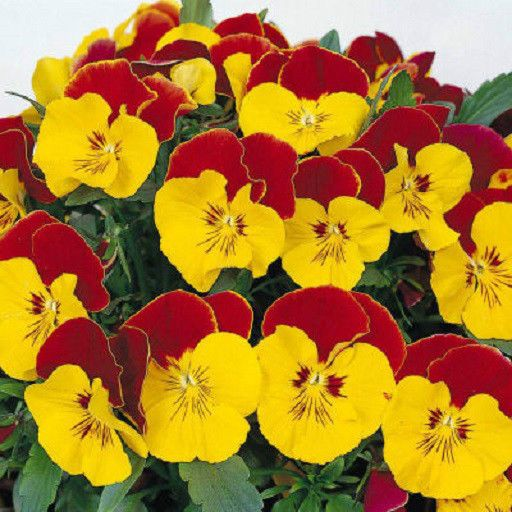 50 Pansy Seeds Faces Red Bicolor Pansy Seeds Flower Seeds Flower Seeds Pansies Pansies Flowers