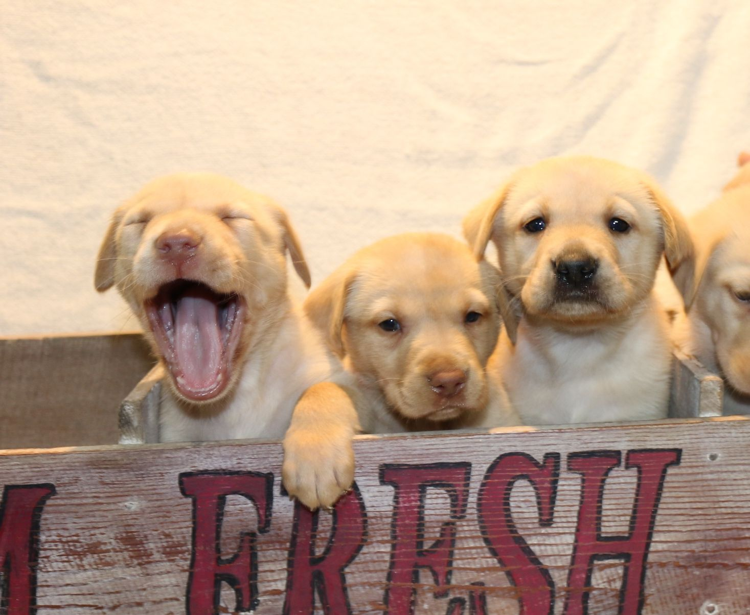 Christmas Puppies for Sale! AKC registered British Labrador