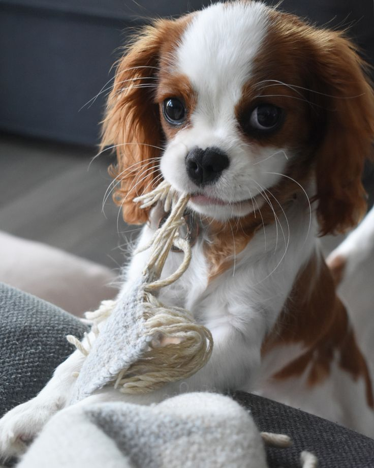 Photo of Give me attention and no blanket will be hurt. ,,,,,,,, #cavalierk …