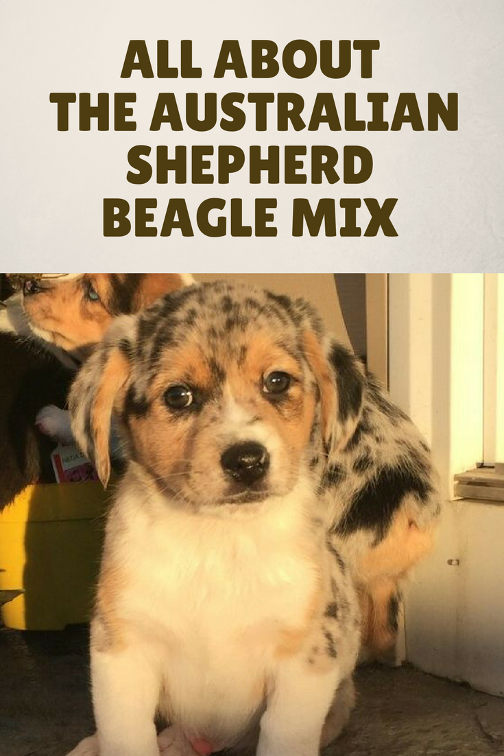 Is There More To Australian Shepherd Beagle Mix Dogs Than Sweetness Australianshepherd Beaglemix Aussiebeagle Beagle Mix Australian Shepherd Beagle Puppy
