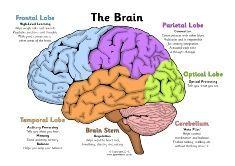 Brain Diagram Clip Art at Clker.com - vector clip art online ...