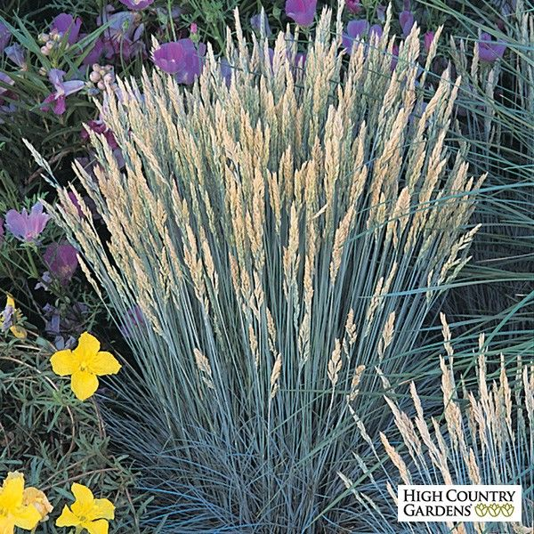 Boulder blue 39 is the best most durable of the blue for Ornamental grass with blue flowers