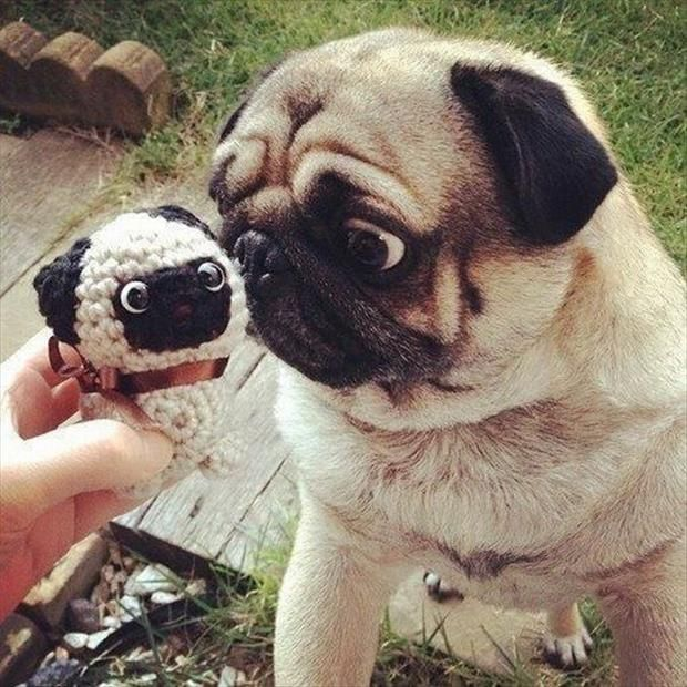 Funny Animals Pug Expression Cute Pugs Silly Animals Funny