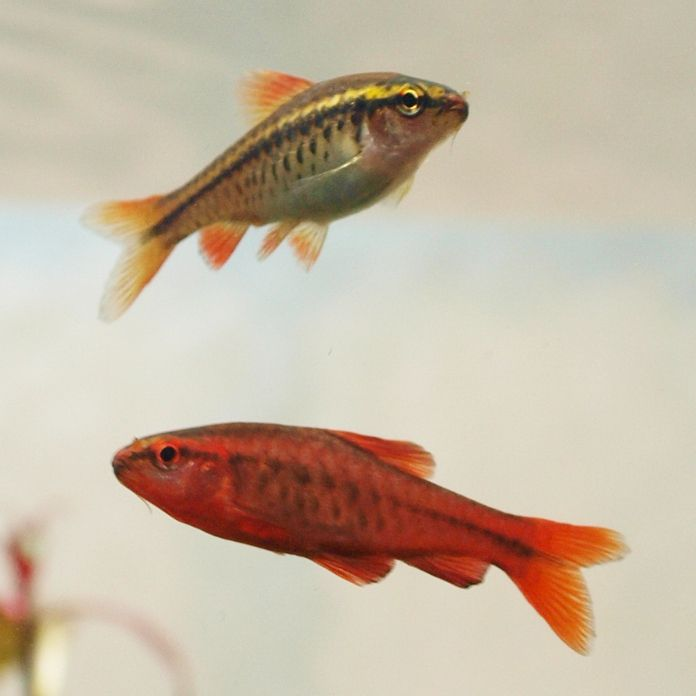 Cherry Barb Fish The Care Feeding And Breeding Of Cherry Barbs Aquarium Tidings Freshwater Aquarium Freshwater Fish Freshwater Aquarium Fish
