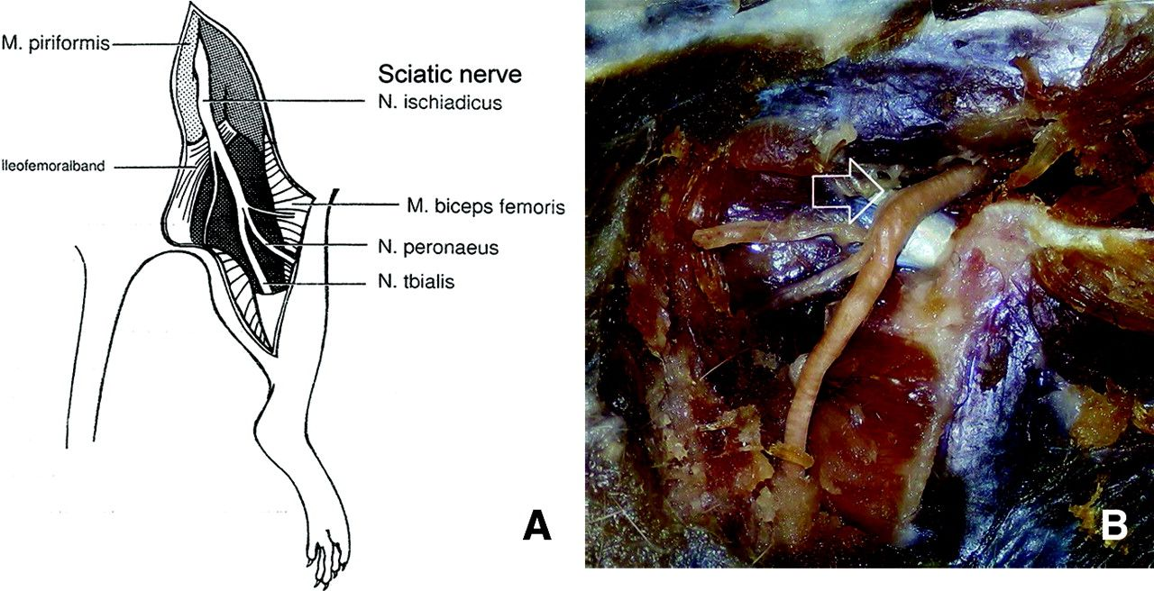 Rat / Sciatic Nerve Anatomy | Project - Nerve Regeneration ...