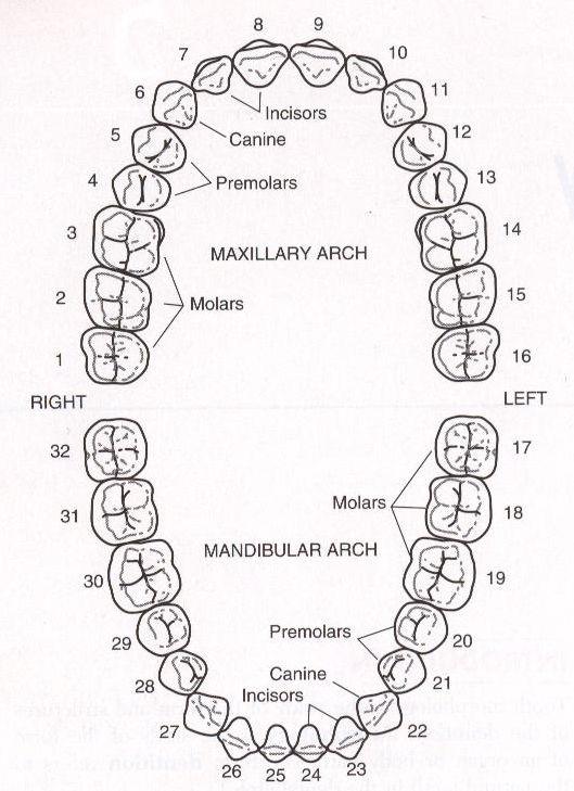 dental teeth numbers
