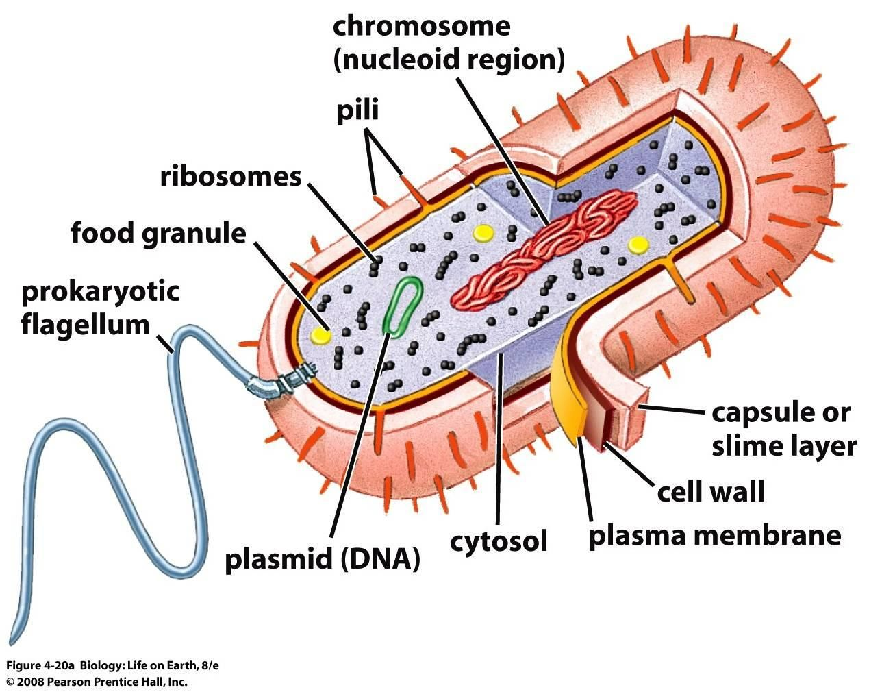 Bacterial structures Prokaryotic cell, Eukaryotic cell