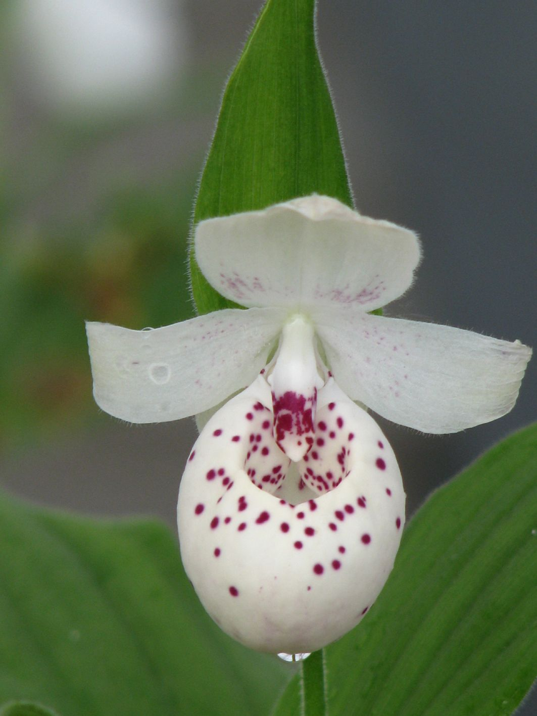 "Cypripedium ""Ulla Silkens"" (Dotted)"