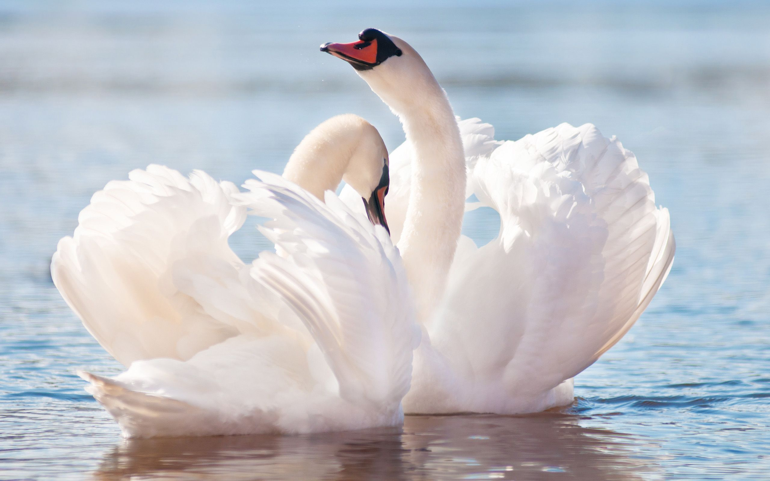 Mute Swan Full Hd Wallpaper And Background X Id Wallpapers
