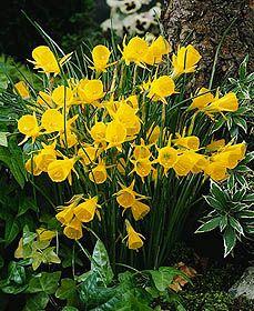 Miniature Daffodils (i.e. miniature <i>Narcissi</i>) Golden Bells (perhaps try Kidling - even shorter)