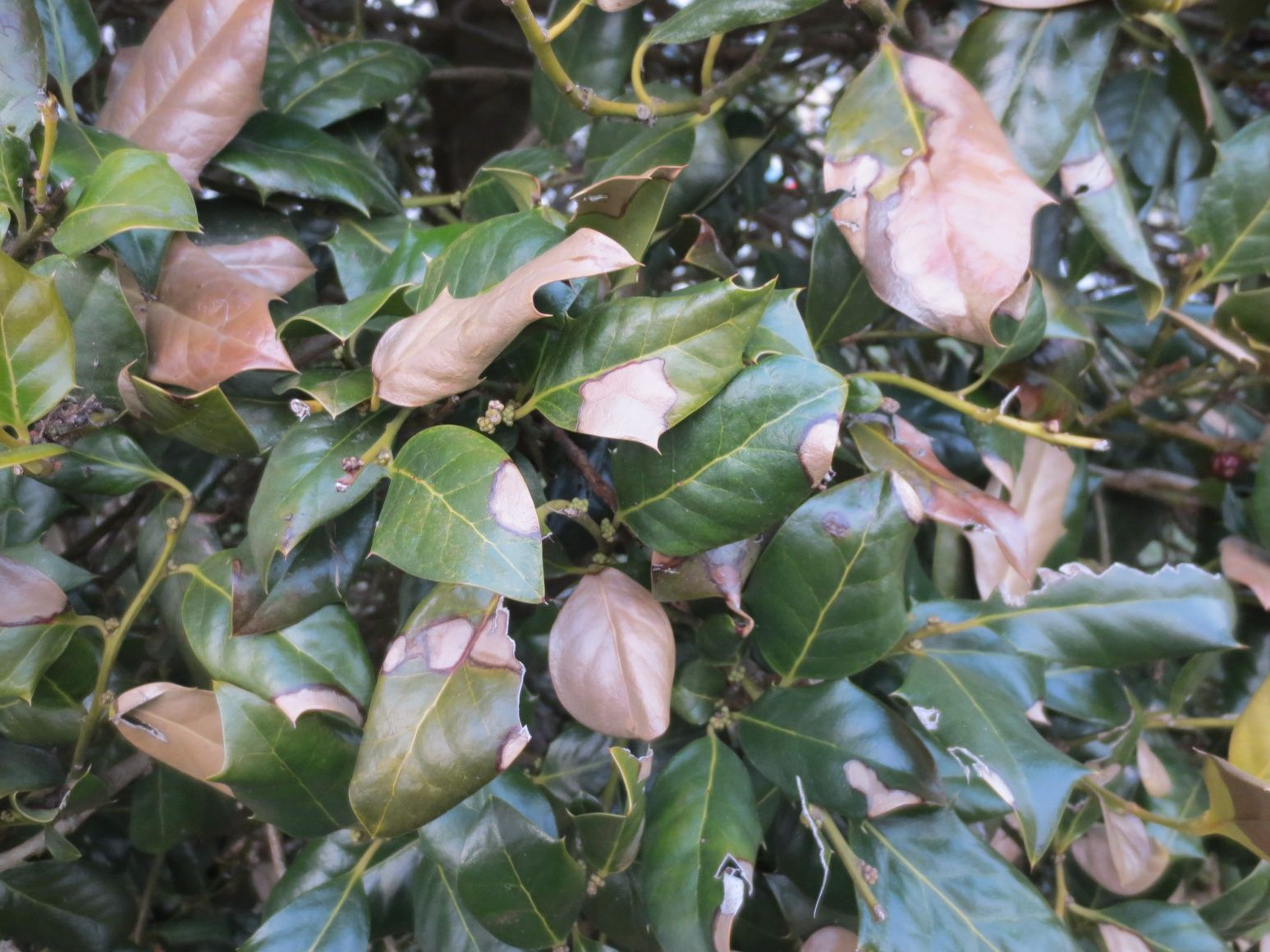 How can i help my holly bush with brown leaves and dead