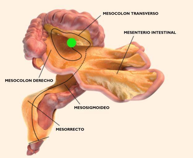Científicos descubren un nuevo órgano del cuerpo humano | Tucucu.com ...