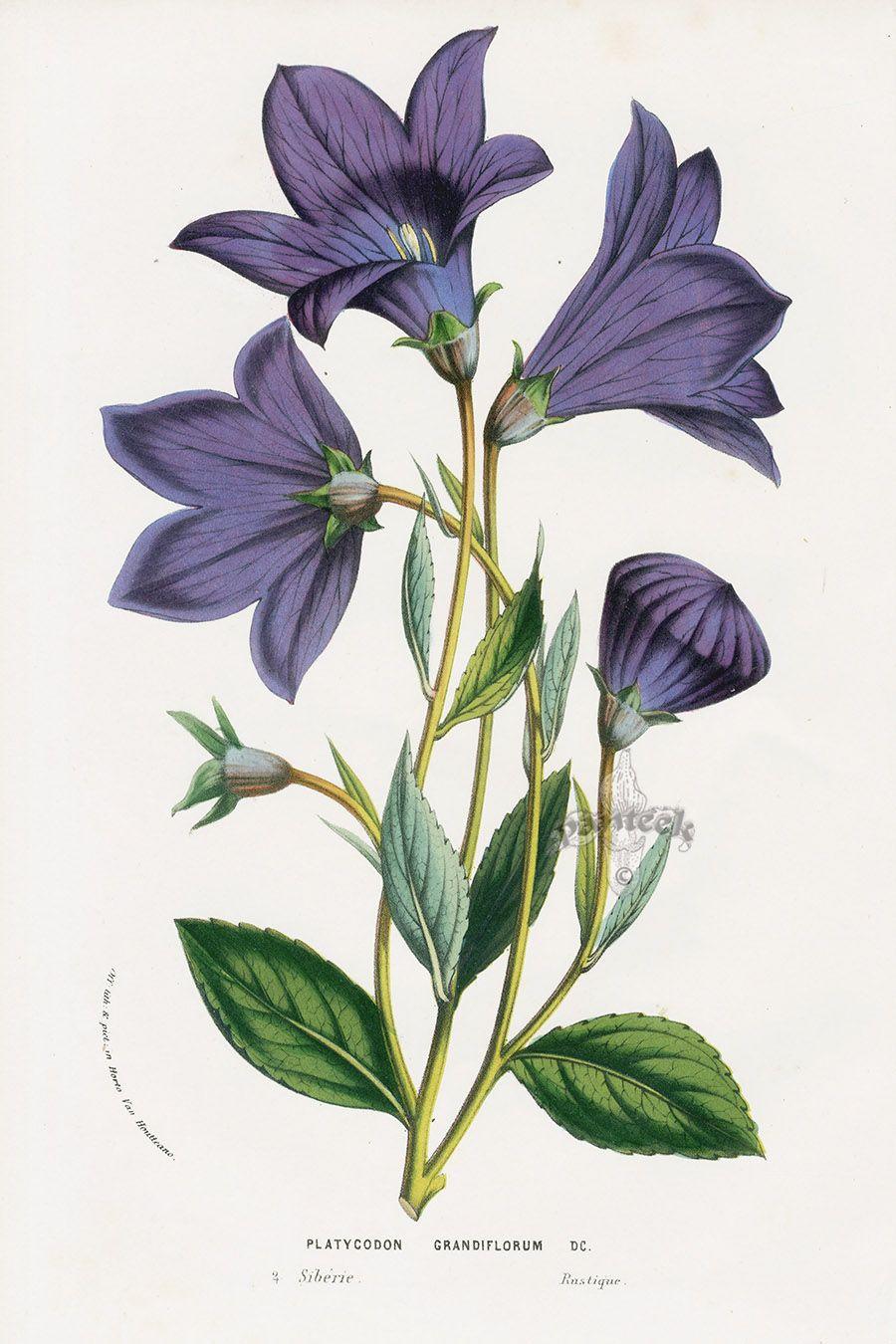Pin by Nightspore on Botanical Prints Flower art